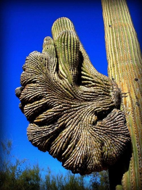 """Đã mắt ngắm những """"gã khổng lồ"""" giữa sa mạc Sonoran - 3"""