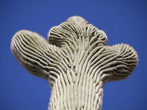 """Đã mắt ngắm những """"gã khổng lồ"""" giữa sa mạc Sonoran - 4"""