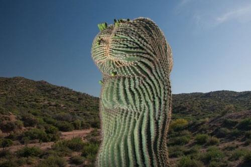 """Đã mắt ngắm những """"gã khổng lồ"""" giữa sa mạc Sonoran - 7"""