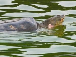 Tin tức trong ngày - Họ hàng rùa Hồ Gươm đang ở đâu?