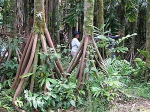 """Sự thật về loài cây có khả năng """"đi bộ"""" duy nhất trên thế giới"""