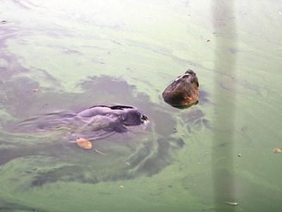 Giống rùa Hoàn Kiếm từng được nhân giống - 1