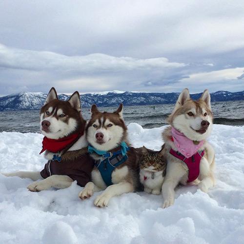 Cảm động tình bạn giữa mèo và 3 chú chó Husky - 11