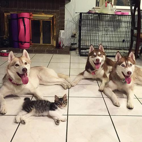 Cảm động tình bạn giữa mèo và 3 chú chó Husky - 2