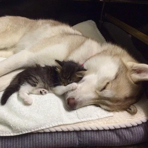 Cảm động tình bạn giữa mèo và 3 chú chó Husky - 1