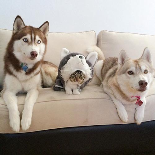 Cảm động tình bạn giữa mèo và 3 chú chó Husky - 10