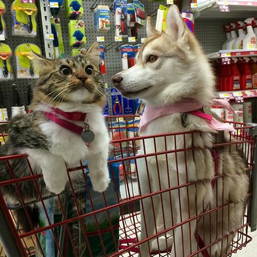 Cảm động tình bạn giữa mèo và 3 chú chó Husky - 9