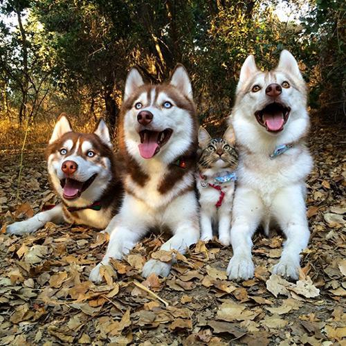 Cảm động tình bạn giữa mèo và 3 chú chó Husky - 8
