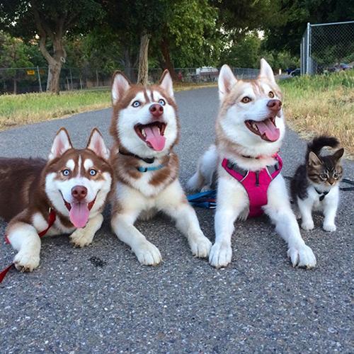 Cảm động tình bạn giữa mèo và 3 chú chó Husky - 3