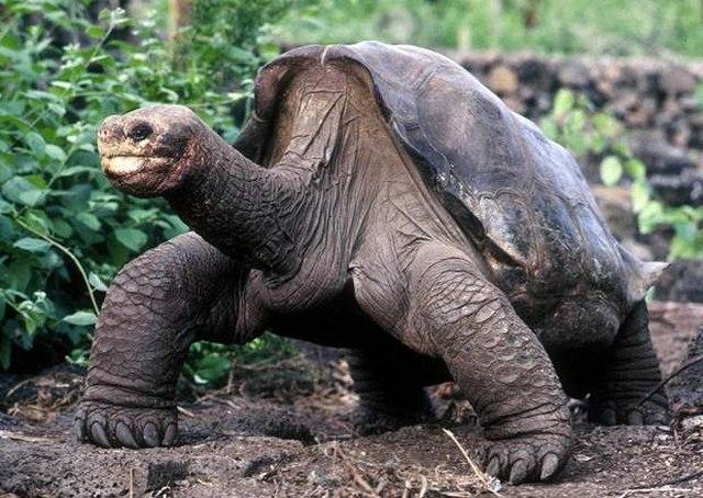 """4 """"cụ"""" rùa khổng lồ nổi tiếng nhất thế giới - 1"""