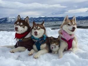 Bạn trẻ - Cuộc sống - Cảm động tình bạn giữa mèo và 3 chú chó Husky