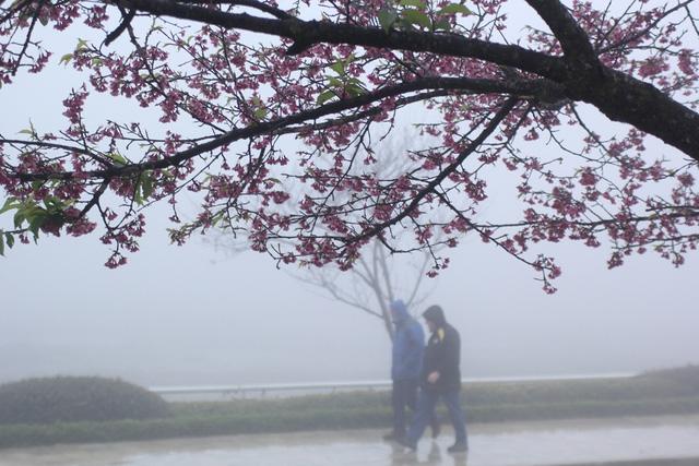 Ngắm hoa anh đào khoe sắc trong mưa lạnh buốt ở Sa Pa - 2