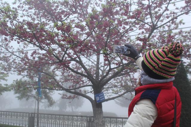 Ngắm hoa anh đào khoe sắc trong mưa lạnh buốt ở Sa Pa - 11