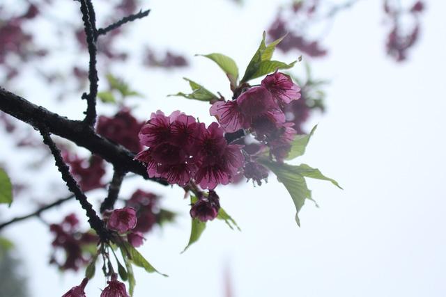 Ngắm hoa anh đào khoe sắc trong mưa lạnh buốt ở Sa Pa - 3