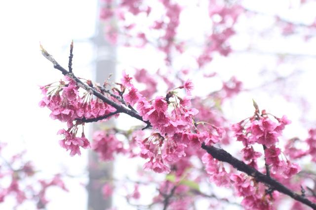 Ngắm hoa anh đào khoe sắc trong mưa lạnh buốt ở Sa Pa - 4