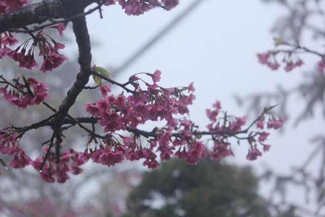 Ngắm hoa anh đào khoe sắc trong mưa lạnh buốt ở Sa Pa - 5