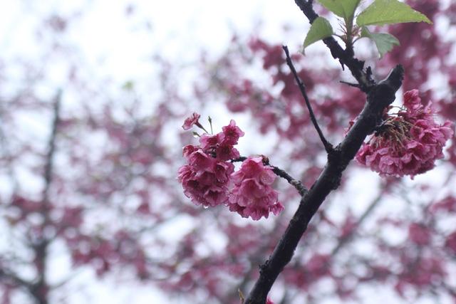 Ngắm hoa anh đào khoe sắc trong mưa lạnh buốt ở Sa Pa - 6