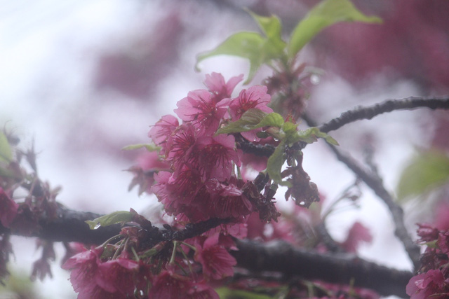 Ngắm hoa anh đào khoe sắc trong mưa lạnh buốt ở Sa Pa - 7