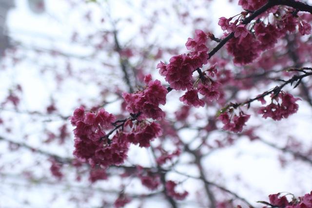 Ngắm hoa anh đào khoe sắc trong mưa lạnh buốt ở Sa Pa - 8