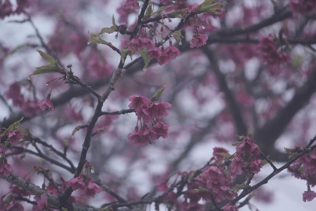 Ngắm hoa anh đào khoe sắc trong mưa lạnh buốt ở Sa Pa - 9