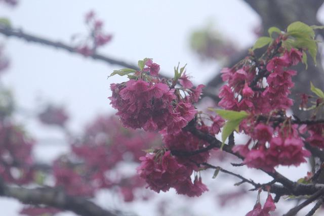 Ngắm hoa anh đào khoe sắc trong mưa lạnh buốt ở Sa Pa - 10