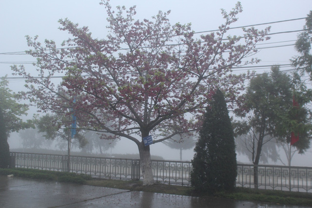 Ngắm hoa anh đào khoe sắc trong mưa lạnh buốt ở Sa Pa - 1