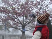 Ngắm hoa anh đào khoe sắc trong mưa lạnh buốt ở Sa Pa