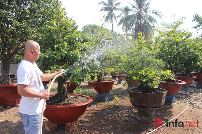 TP.HCM: Nỗi lo của các chủ vườn mai khi ngày tết cận kề - 1