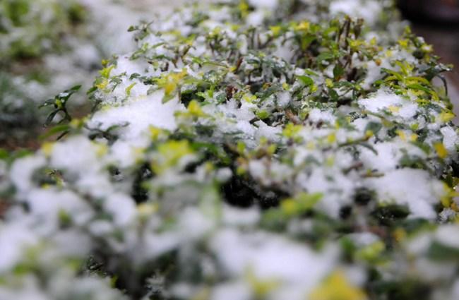 """Đào rừng Sa Pa """"ngậm tuyết"""", khoe sắc trong giá lạnh - 12"""