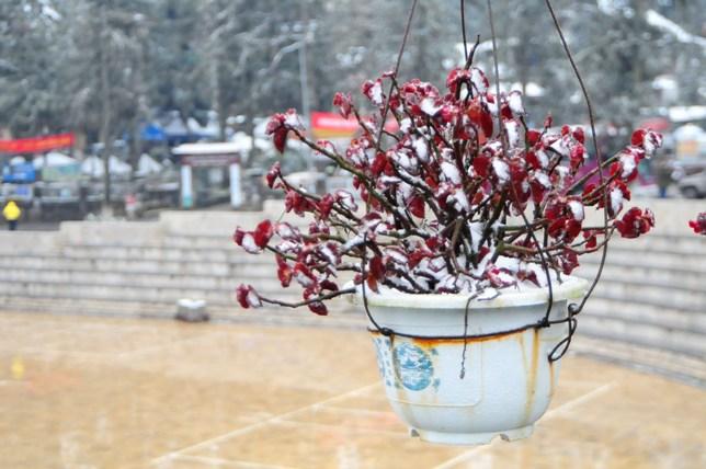 """Đào rừng Sa Pa """"ngậm tuyết"""", khoe sắc trong giá lạnh - 13"""