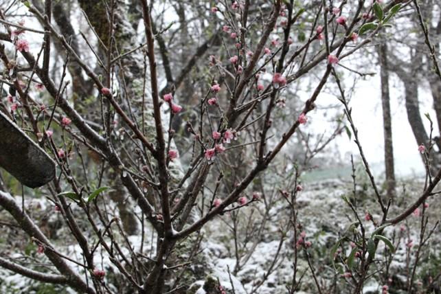 """Đào rừng Sa Pa """"ngậm tuyết"""", khoe sắc trong giá lạnh - 4"""