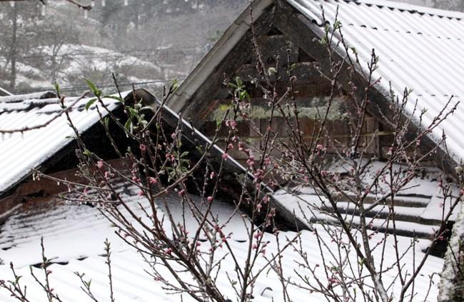 """Đào rừng Sa Pa """"ngậm tuyết"""", khoe sắc trong giá lạnh - 8"""