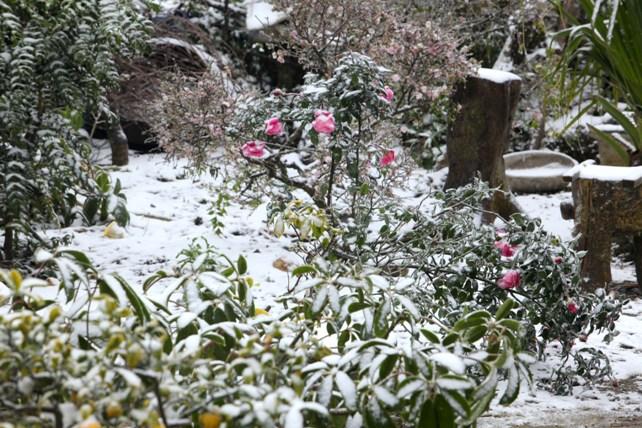 """Đào rừng Sa Pa """"ngậm tuyết"""", khoe sắc trong giá lạnh - 9"""