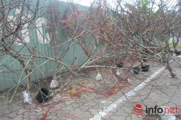 Đào rừng, đào cổ bạc triệu đổ về Hà Nội - 1
