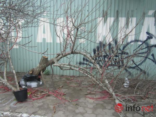 Đào rừng, đào cổ bạc triệu đổ về Hà Nội - 2