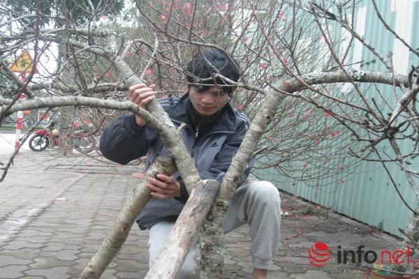 Đào rừng, đào cổ bạc triệu đổ về Hà Nội - 3