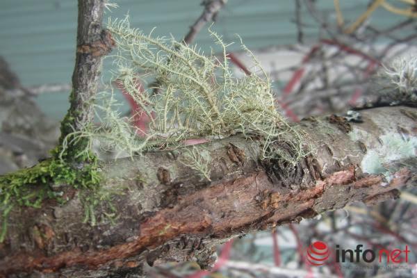 Đào rừng, đào cổ bạc triệu đổ về Hà Nội - 5