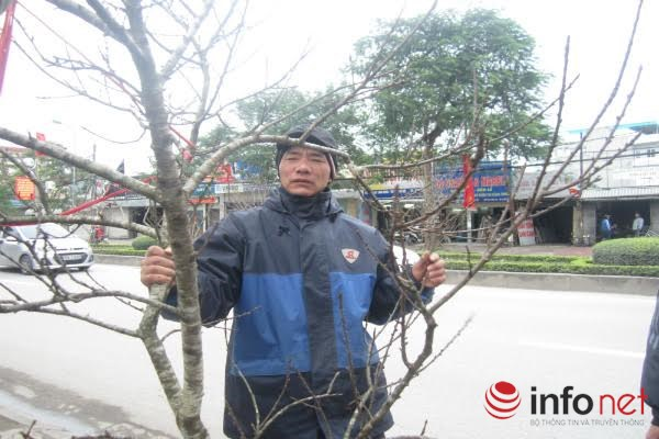 Đào rừng, đào cổ bạc triệu đổ về Hà Nội - 8