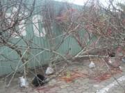 Thị trường - Tiêu dùng - Đào rừng, đào cổ bạc triệu đổ về Hà Nội