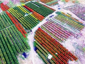 Tin tức Việt Nam - Cánh đồng hoa đẹp như tranh vẽ giữa Sài Gòn