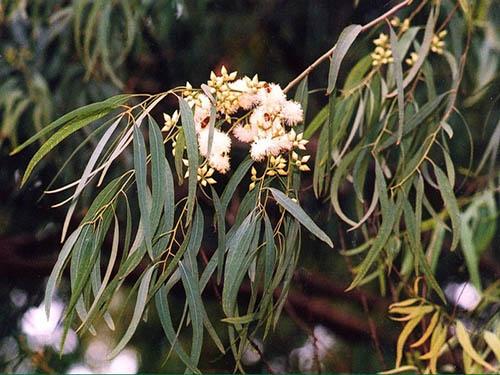 Kì lạ loài cây có khả năng 'đẻ' ra vàng - 1