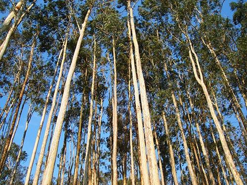 Kì lạ loài cây có khả năng 'đẻ' ra vàng - 2