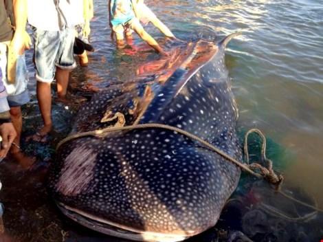 """Cá nhám voi """"khủng"""" dạt vào bờ biển Khánh Hòa - 1"""
