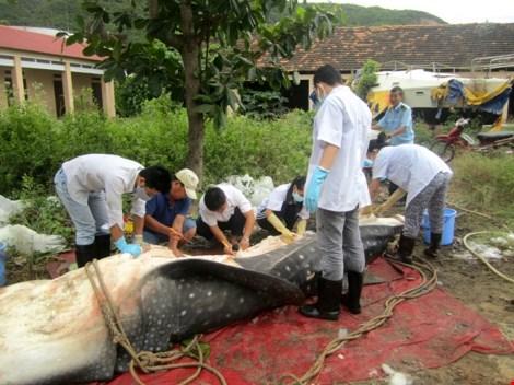 """Cá nhám voi """"khủng"""" dạt vào bờ biển Khánh Hòa - 2"""