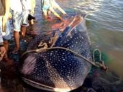 """Tin tức trong ngày - Cá nhám voi """"khủng"""" dạt vào bờ biển Khánh Hòa"""