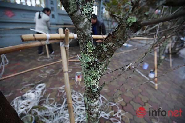 Đào rừng chớm nở trên phố Thủ đô khi trời vừa nắng ấm - 1