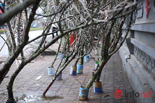 Đào rừng chớm nở trên phố Thủ đô khi trời vừa nắng ấm - 4