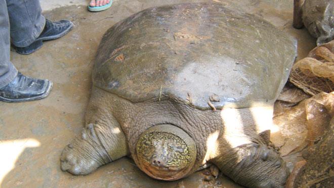 Rùa Đồng Mô khó sống nếu về hồ Hoàn Kiếm - 1