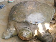 Tin tức trong ngày - Rùa Đồng Mô khó sống nếu về hồ Hoàn Kiếm