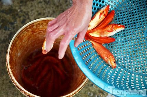 Tấp nập chợ cá ông Công, ông Táo lớn nhất Hà Nội - 6